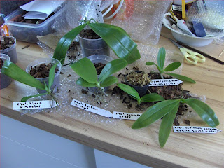 Phalaenopsis orchid species, seedlings just bought.