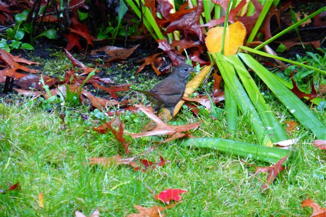 wren, bird