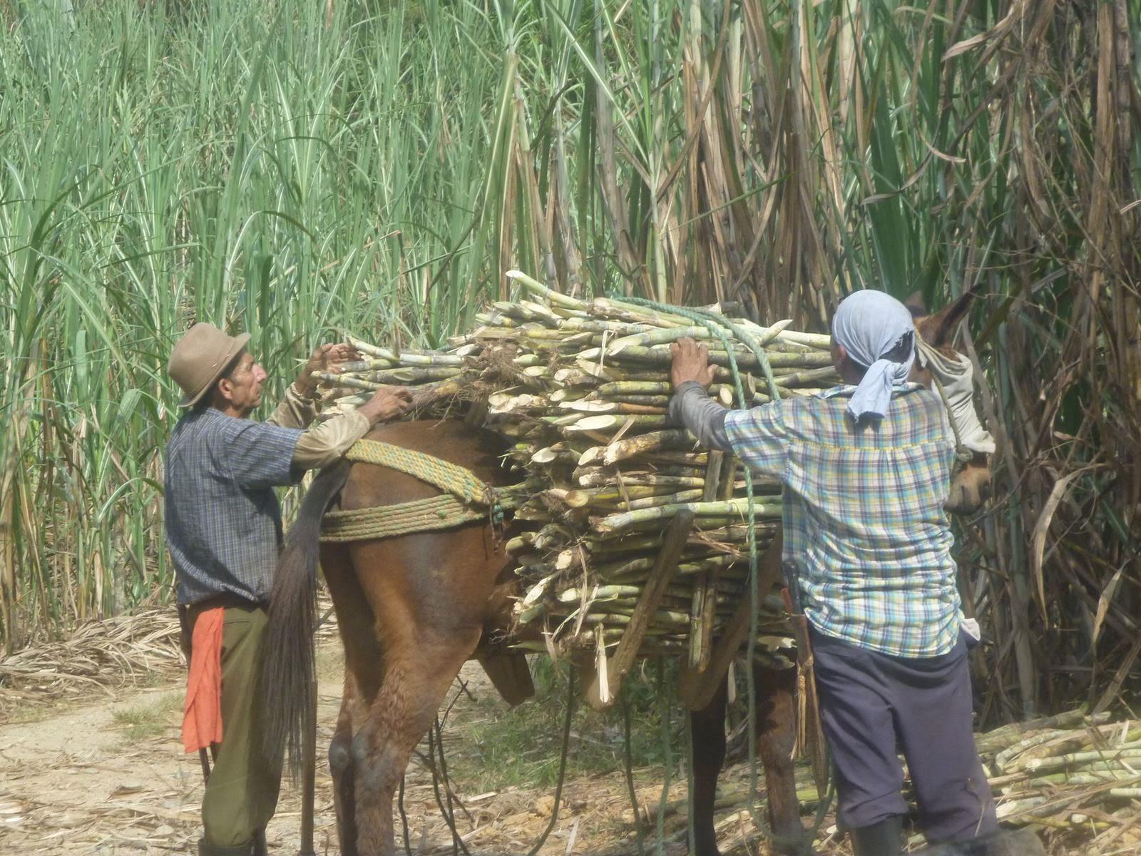 Animal de Tiro y Carga en Colombia, Arriero, arrieria, mula, burro