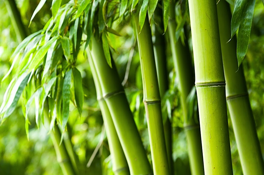 De natuurlijke vezels plantaardige oorsprong for Bamboe plant