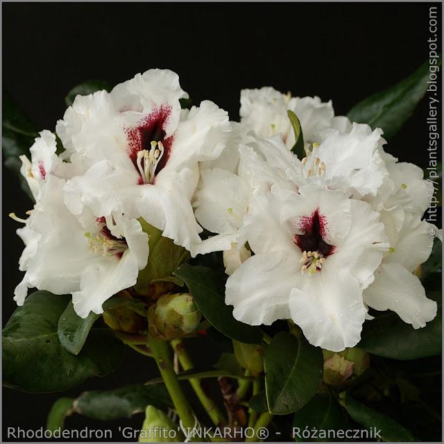 Rhododendron 'Graffito' INKARHO® -  Różanecznik  'Graffito' INKARHO®    kwiaty