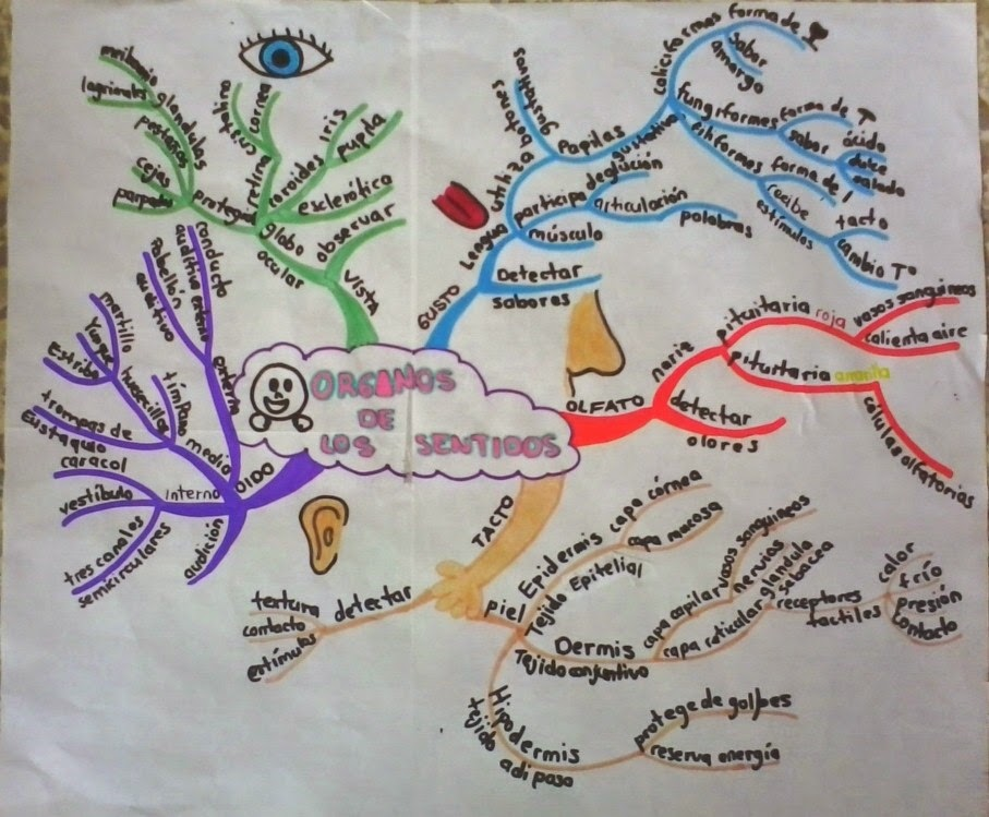 TODO LO QUE DEBES SABER: Mapa mental: órganos de los sentidos