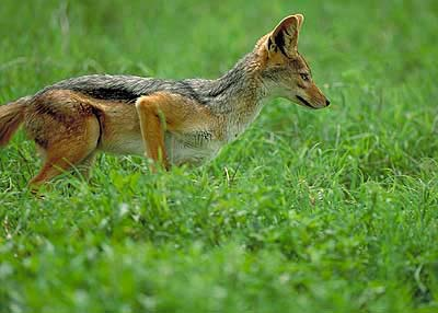 Jackal in Greenery