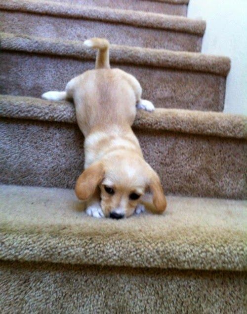 The Most Adorable Puppies You'll Ever See / Stairs are hard)