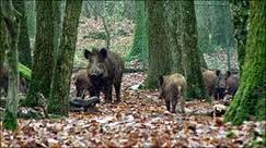 Wild boar in French forest