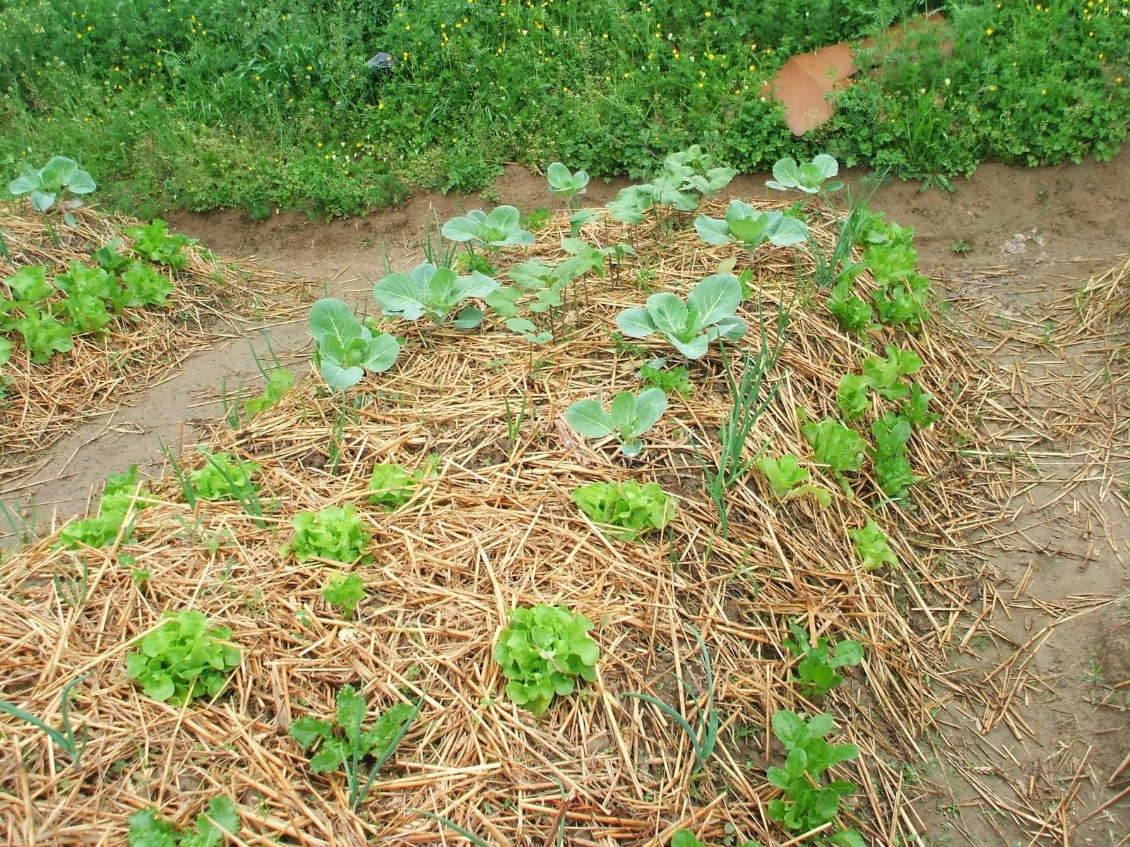 Enjoy life semenzai e orto sinergico for Quando piantare l aglio