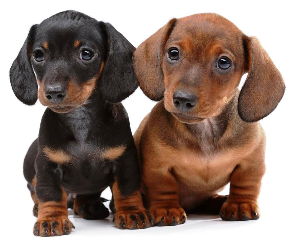 dachshund puppies. Black Bedroom Furniture Sets. Home Design Ideas
