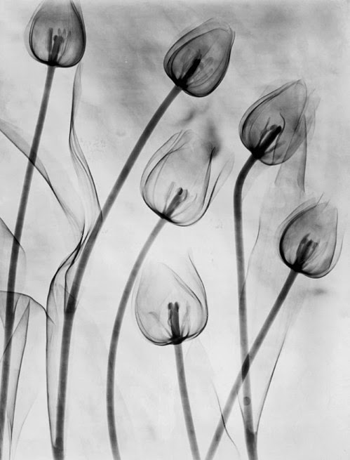 Edward Charles Le Grice - An X-ray photograph of tulips on white.
