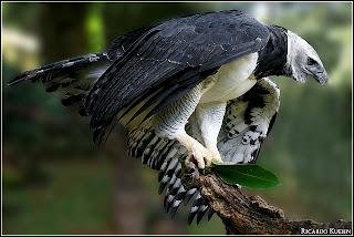 Harpy Eagle image