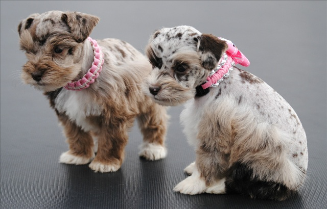 Litter Size of Miniature Schnauzer