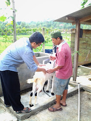 Penyuntikan Hormon Oxitocin pada Kambing Perah tgl 20 Mei 2013