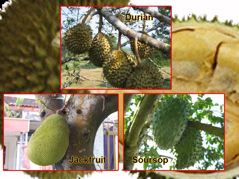 Durian Info: July 2011 Jackfruit Vs Durian