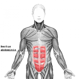 The rectus abdominis muscles