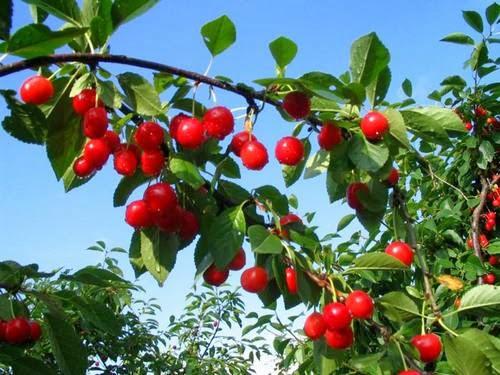 Cerezas arbol