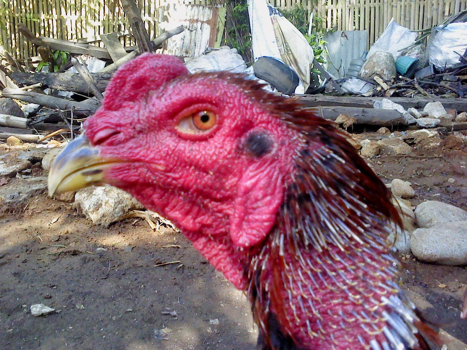 Menguak mitos tentang Jengger ayam