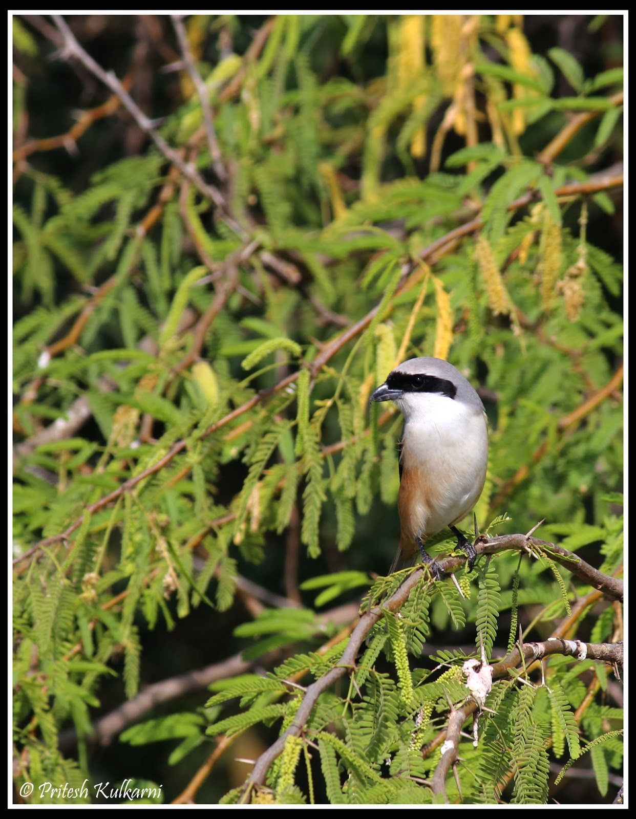 Bay Backed Shrike