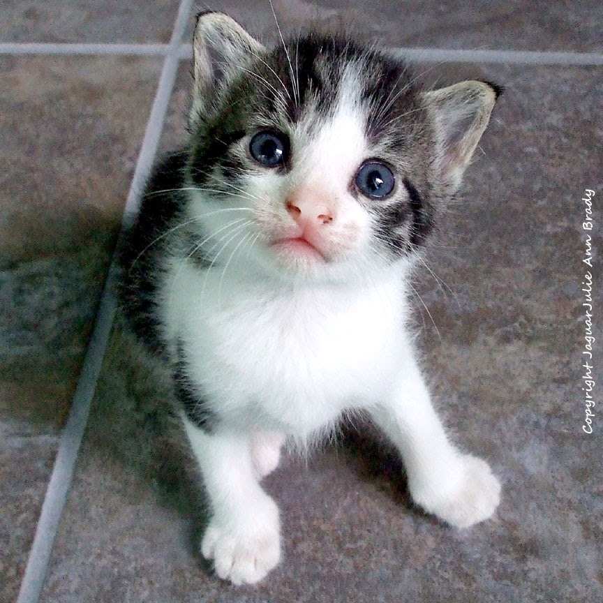 black and white with gray tabby kitten for adoption