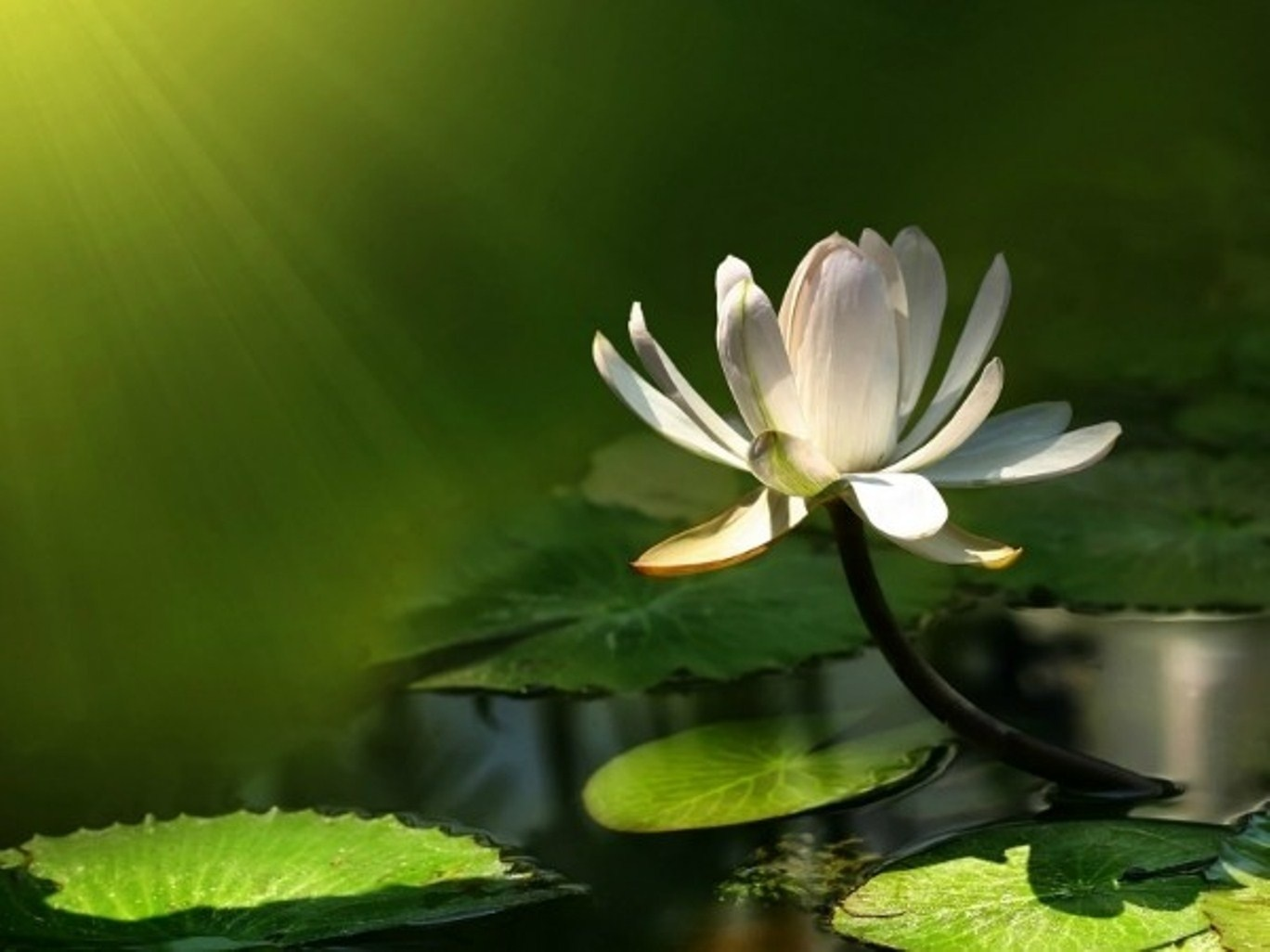 Hd Lotus Flower Wallpaper Free Download