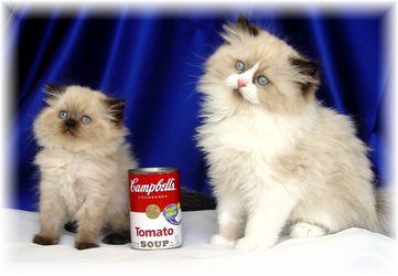 Ternak Persia Kucing Persia