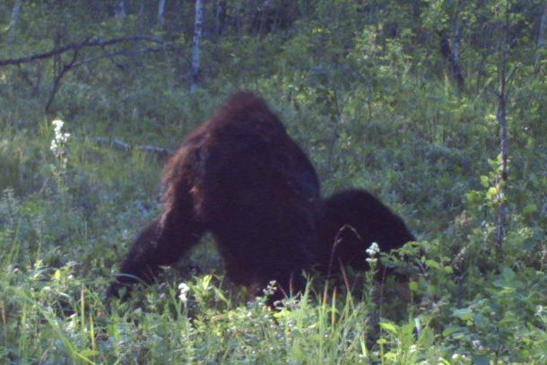 New Footage: A Trapper In Alberta Canada Took This Amazing Photo Of Bigfoot Albertasasquatchtrailcam