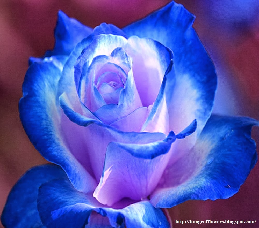 Image Of Flowers Blue Rose Pictures Roses Picture Photos