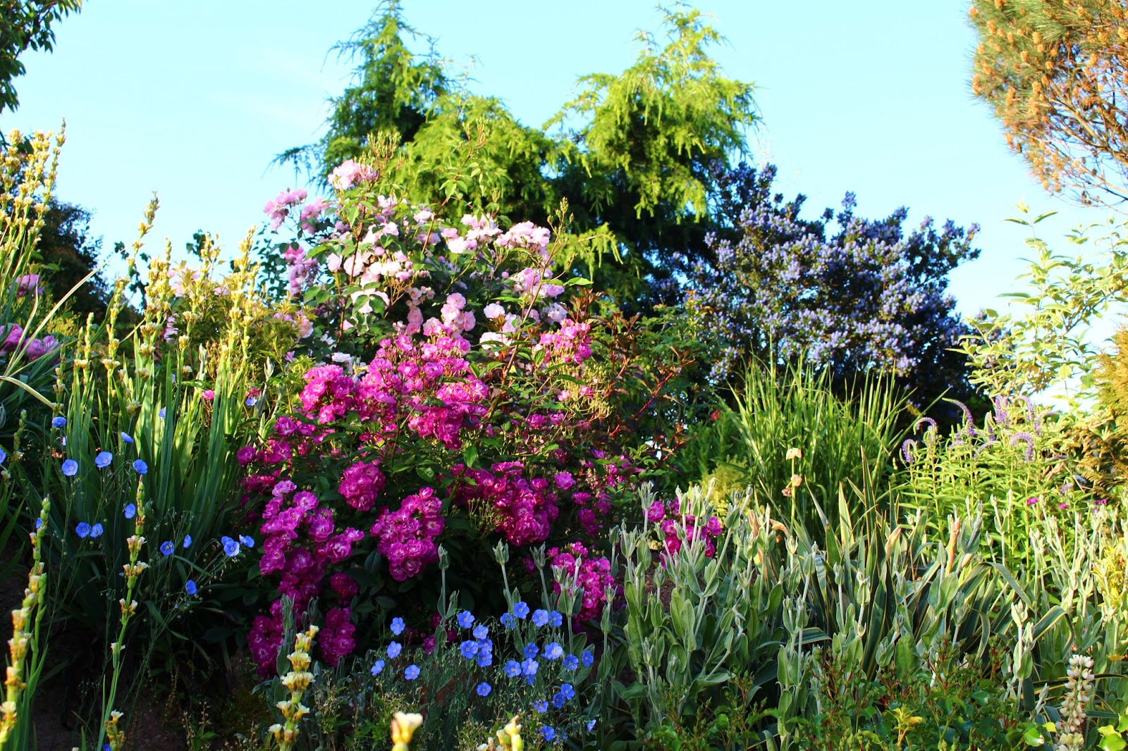 Roses du jardin ch neland un petit rosier charmant - Quand couper les rosiers ...