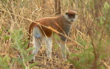Husar-ape