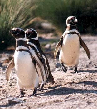Pingüinos corriendo