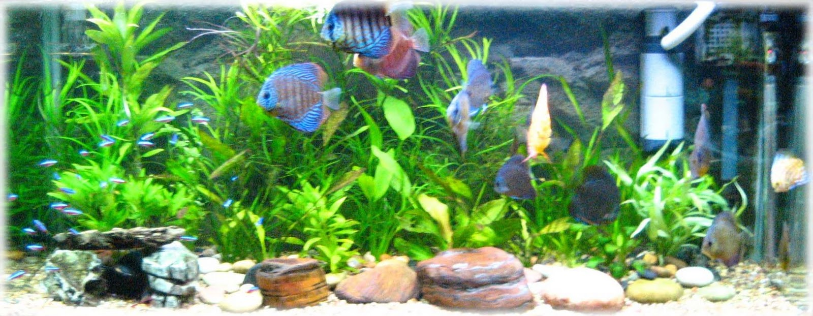 Discus Fish Tankmates Other Types Of Tropical Fish Can