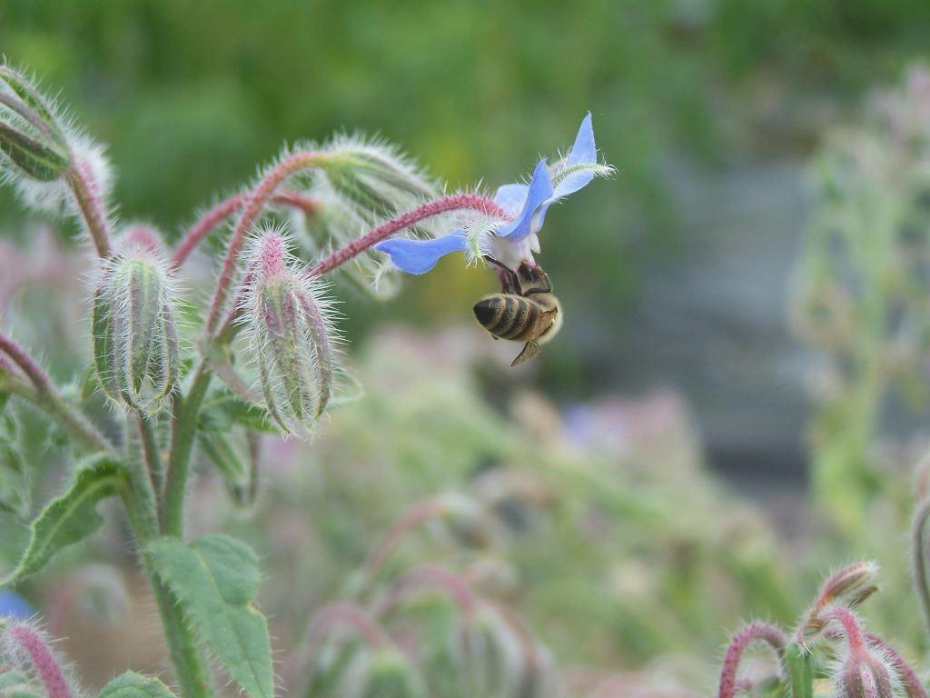 Honey Bee Lavender Nectar desktop wallpaper - honey bee lavendar nectar wallpapers