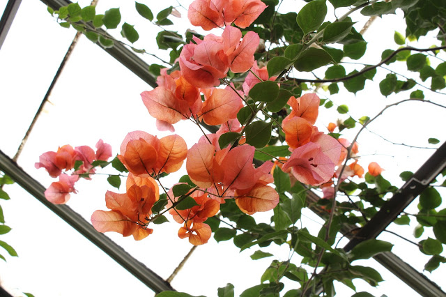 orange bouganvillea