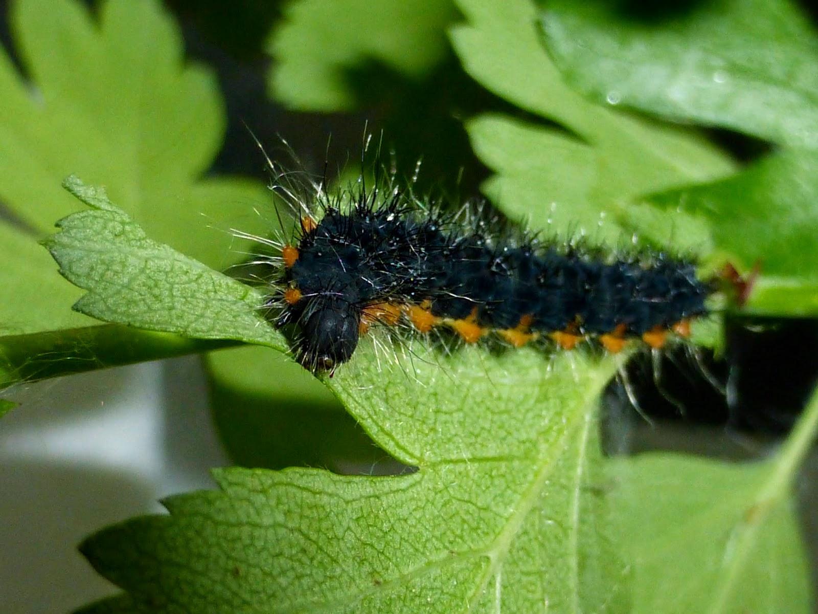 Saturnia pavoniella L3 caterpillar