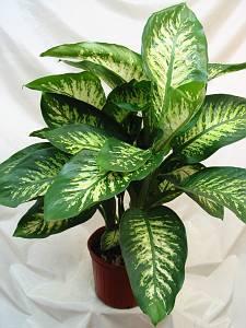 13 escobas difembaquia has visto esta planta - Plantas venenosas de interior ...