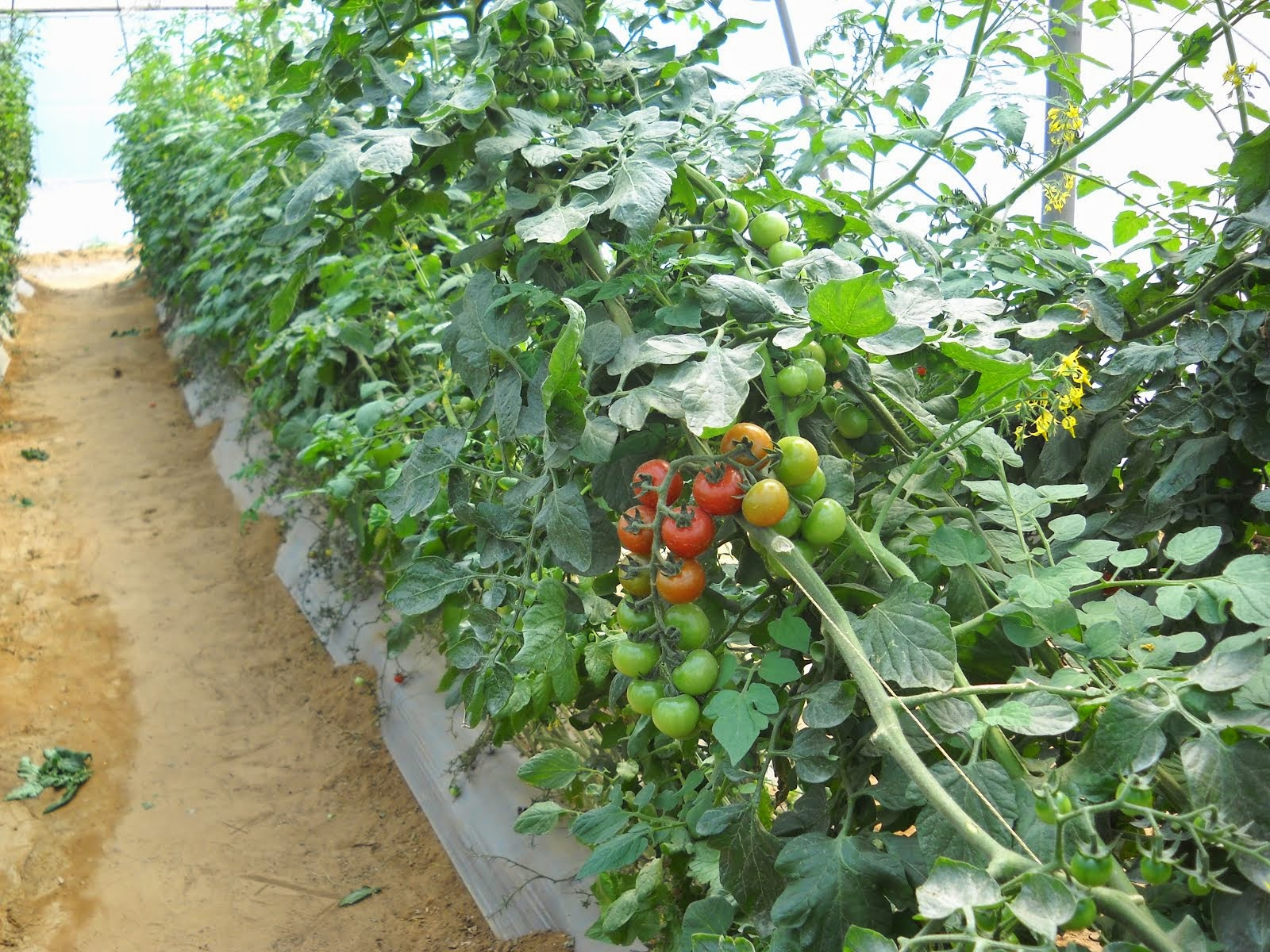 FILED BY GREEN HOUSE CHERRY TOMATO