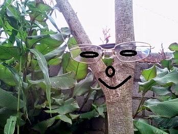 Kacamata frame titanium di pakai Pohon Mahoni