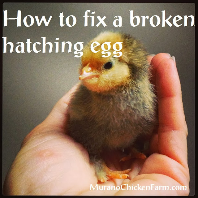 broken egg chick hatched