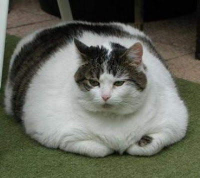gato gordo robaba comida de los vecinos