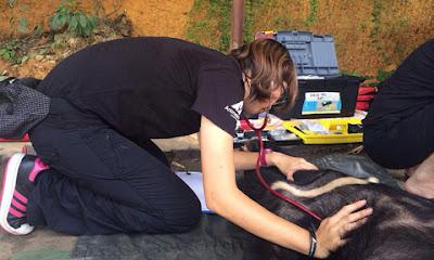 Nhân viên Tổ chức Động vật Châu Á đang chăm sóc gấu