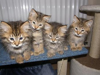 Alsoomse Pixie Bob kittens