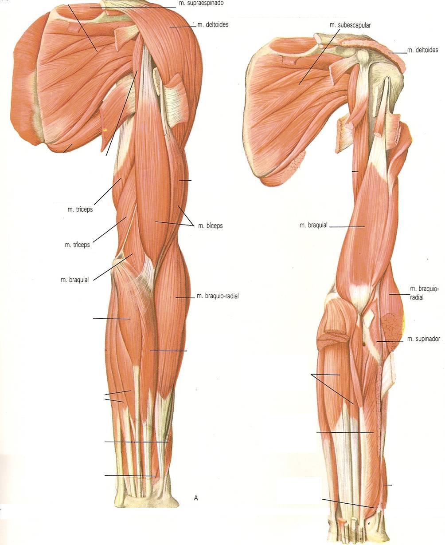 El tratamiento miozita del departamento de pecho de la espalda