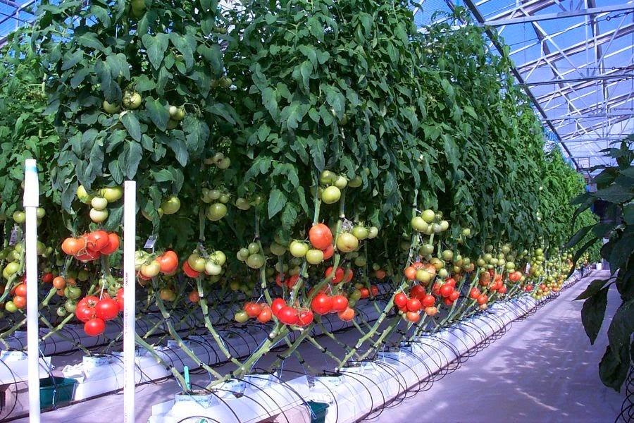Выращивание овощей на