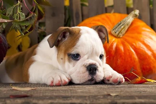 Żywienie-psów-z-alergią-pokarmową