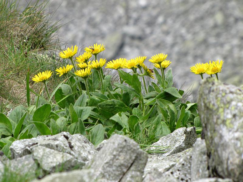 Nieliczne kępki roślinności na Kozich Czubach- Omieg kozłowiec (Doronicum clusii).