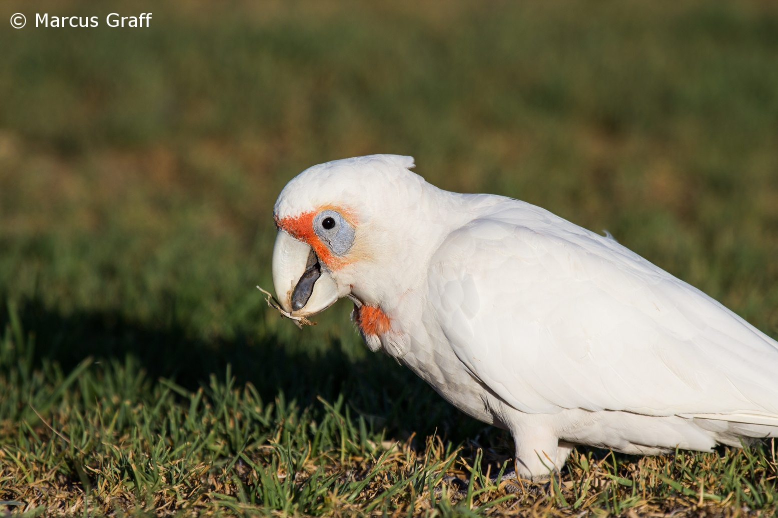 Long-billed corella - Wikipedia