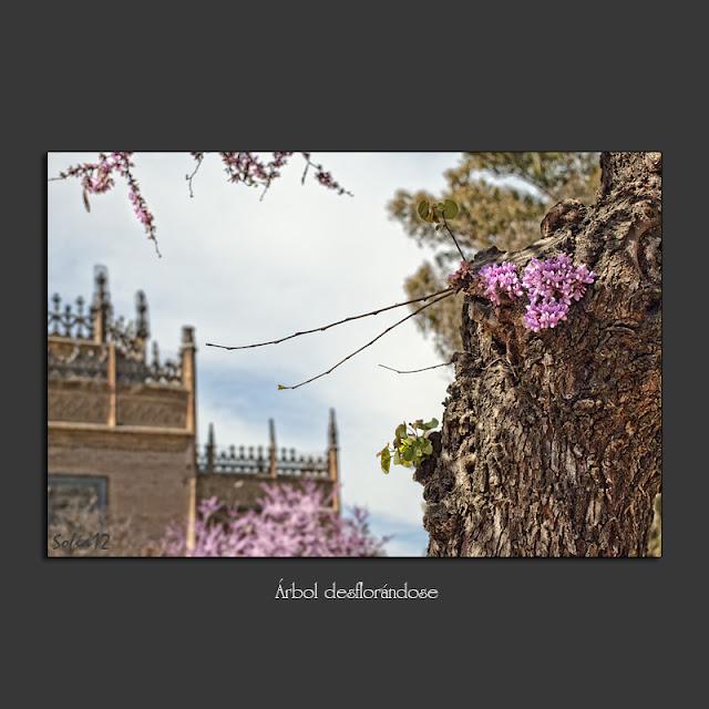 Árbol de Judas en el parque de Maria Luisa