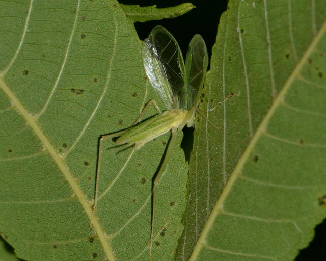 Leaves amplifying a tree cricket song