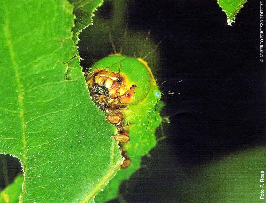 Universo dei lepidotteri 23 l 39 alimentazione dei bruchi - Colorazione dei bruchi ...