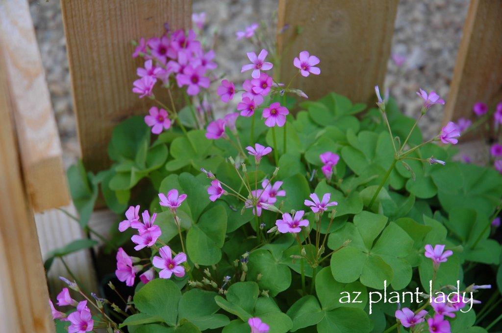 Pink flowering false 39 shamrocks 39 ramblings from a desert garden - Shamrock houseplant ...