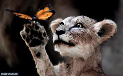 Photos drôles et insolites  Animal - Lion v14