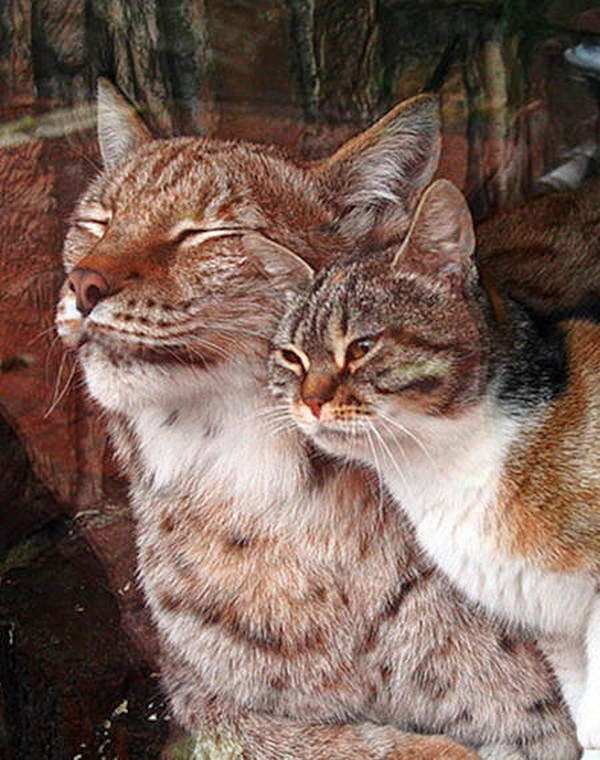 Stray cat befriends lynx at zoo (4 pics + video), cat and lynx friends